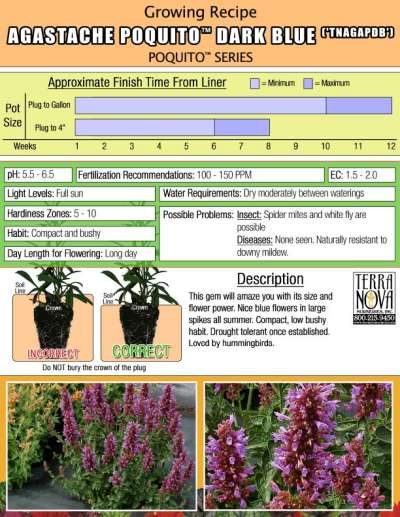 Agastache POQUITO™ Dark Blue - Growing Recipe