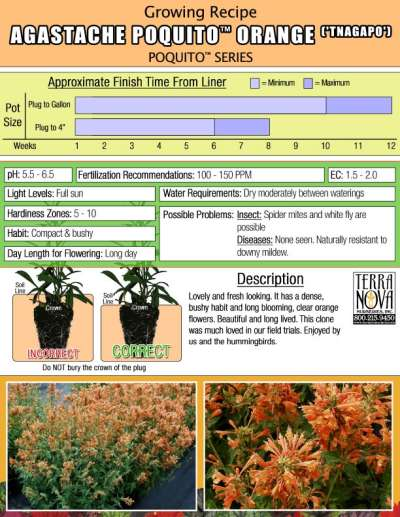 Agastache POQUITO™ Orange - Growing Recipe
