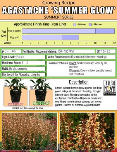 Agastache 'Summer Glow' - Growing Recipe