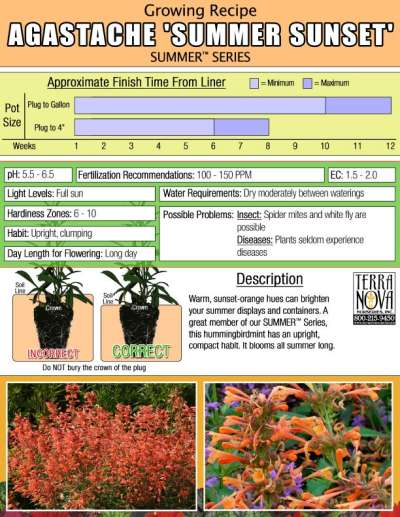 Agastache 'Summer Sunset' - Growing Recipe