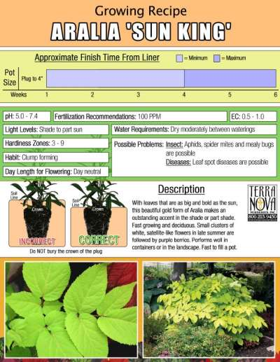 Aralia 'Sun King' - Growing Recipe