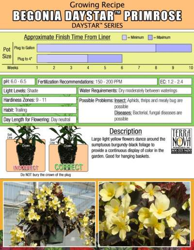 Begonia DAYSTAR™ Primrose - Growing Recipe