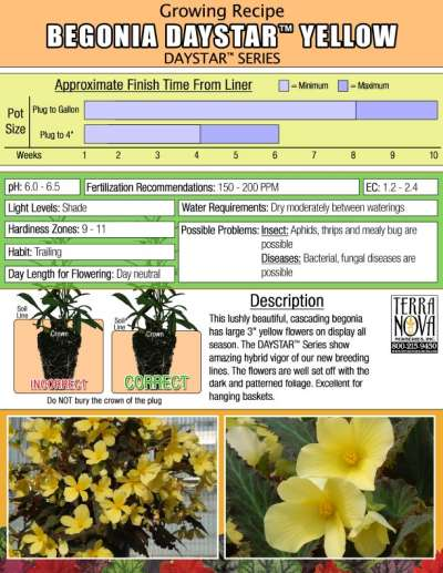 Begonia DAYSTAR™ Yellow - Growing Recipe
