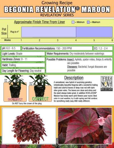 Begonia REVELATION® Maroon - Growing Recipe