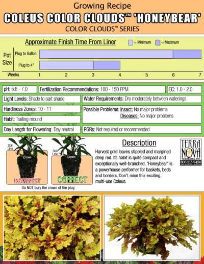 Coleus COLOR CLOUDS™ 'Honeybear' - Growing Recipe