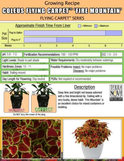 Coleus FLYING CARPET™ 'Fire Mountain' - Growing Recipe