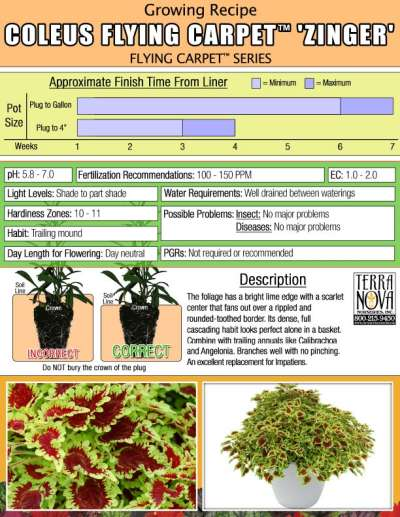 Coleus FLYING CARPET™ 'Zinger' - Growing Recipe