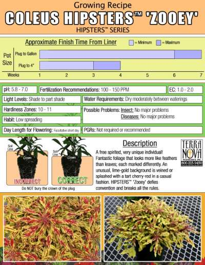 Coleus HIPSTERS™ 'Zooey' - Growing Recipe