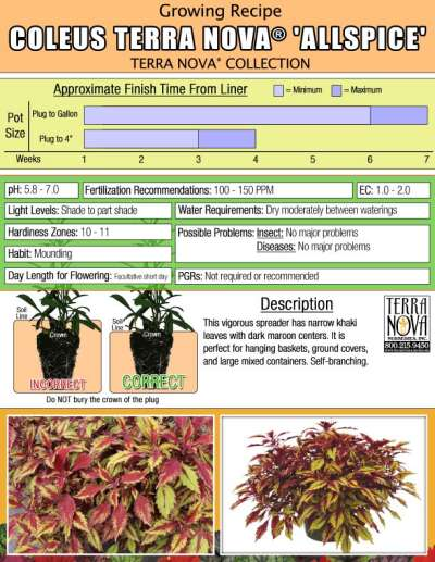 Coleus TERRA NOVA® 'Allspice' - Growing Recipe