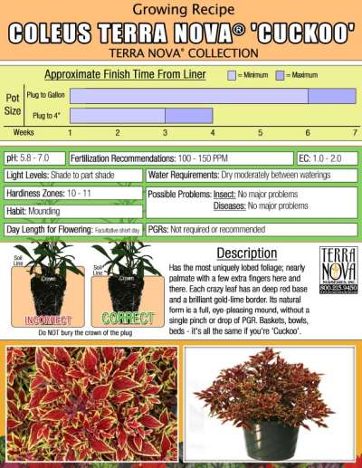 Coleus TERRA NOVA® 'Cuckoo' - Growing Recipe