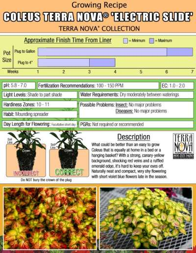 Coleus TERRA NOVA® 'Electric Slide' - Growing Recipe