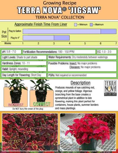 Coleus TERRA NOVA® 'Jigsaw' - Growing Recipe