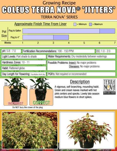 Coleus TERRA NOVA® 'Jitters' - Growing Recipe
