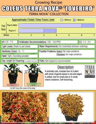 Coleus TERRA NOVA® 'Lovebird' - Growing Recipe