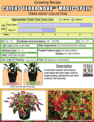 Coleus TERRA NOVA® 'Magic Spell' - Growing Recipe