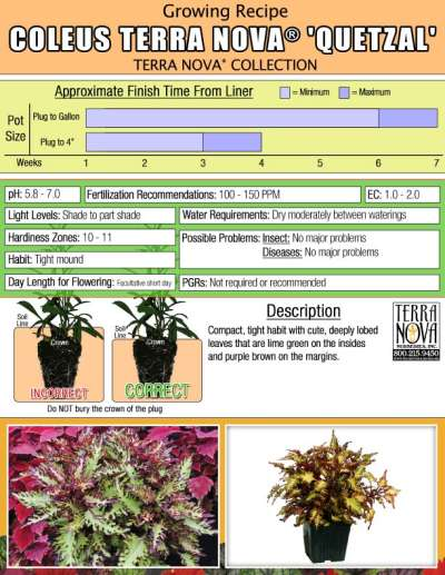 Coleus TERRA NOVA® 'Quetzal' - Growing Recipe