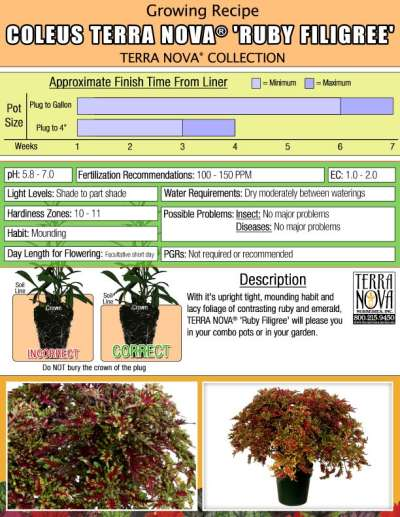 Coleus TERRA NOVA® 'Ruby Filigree' - Growing Recipe