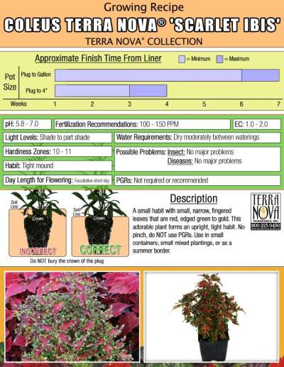 Coleus TERRA NOVA® 'Scarlet Ibis' - Growing Recipe
