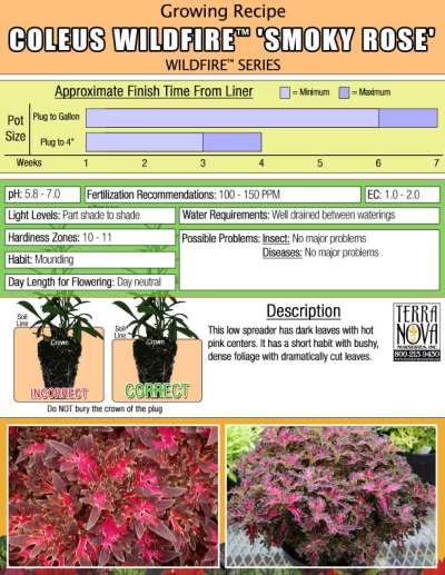 Coleus WILDFIRE™ 'Smoky Rose' - Growing Recipe