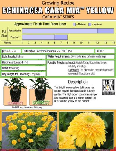 Echinacea CARA MIA™ Yellow - Growing Recipe