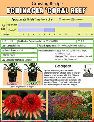 Echinacea 'Coral Reef' - Growing Recipe