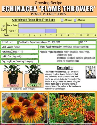 Echinacea 'Flame Thrower' - Growing Recipe