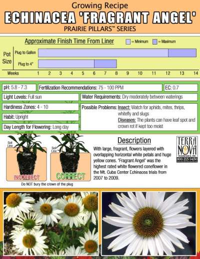 Echinacea 'Fragrant Angel' - Growing Recipe
