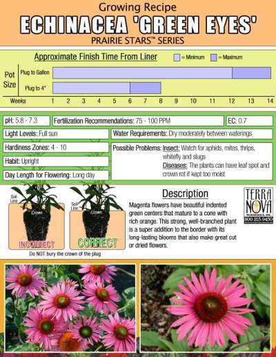 Echinacea 'Green Eyes' - Growing Recipe