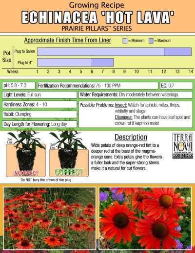 Echinacea 'Hot Lava' - Growing Recipe
