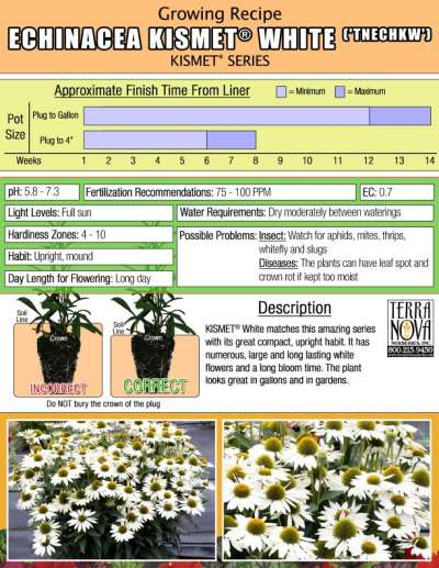 Echinacea KISMET® White - Growing Recipe