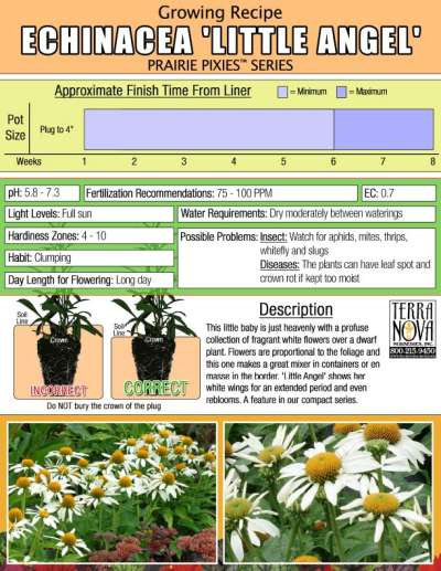 Echinacea 'Little Angel' - Growing Recipe