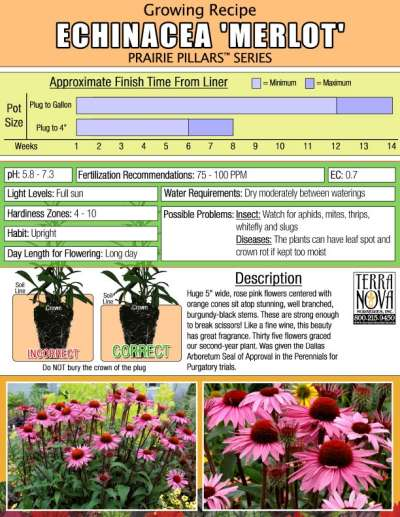Echinacea 'Merlot' - Growing Recipe