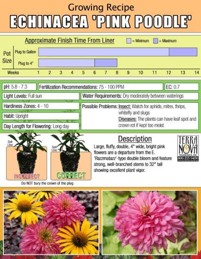 Echinacea 'Pink Poodle' - Growing Recipe