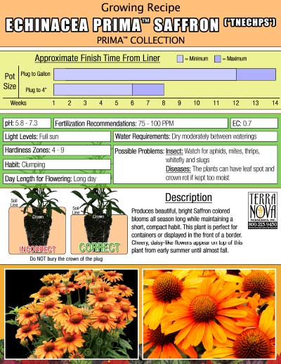 Echinacea PRIMA™ Saffron - Growing Recipe