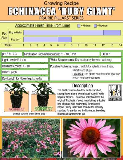 Echinacea 'Ruby Giant' - Growing Recipe