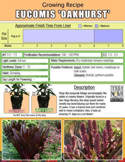 Eucomis 'Oakhurst' - Growing Recipe
