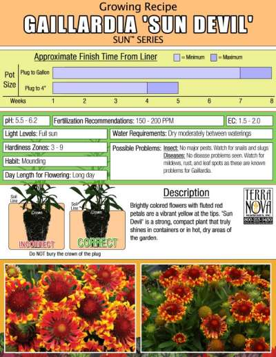 Gaillardia 'Sun Devil' - Growing Recipe