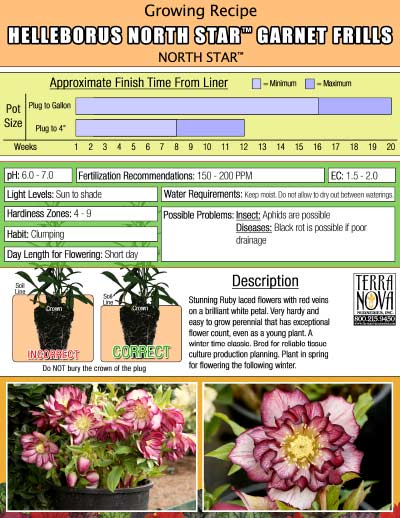 Helleborus NORTH STAR™ Garnet Frills - Growing Recipe