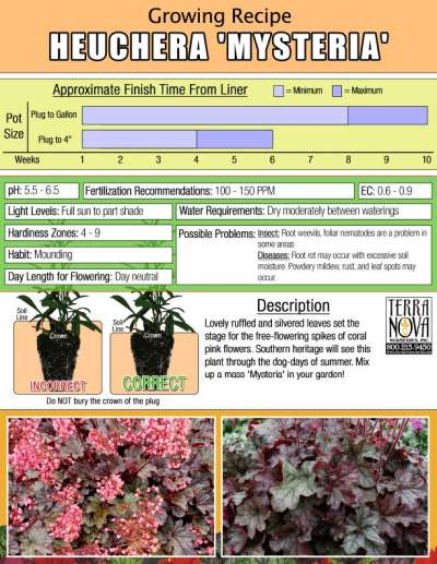 Heuchera 'Mysteria' - Growing Recipe