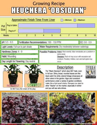 Heuchera 'Obsidian' - Growing Recipe