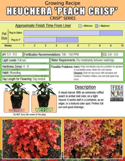 Heuchera 'Peach Crisp' - Growing Recipe