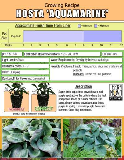 Hosta 'Aquamarine' - Growing Recipe