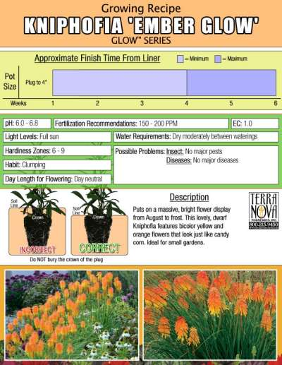 Kniphofia 'Ember Glow' - Growing Recipe