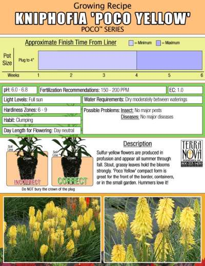 Kniphofia 'Poco Yellow' - Growing Recipe