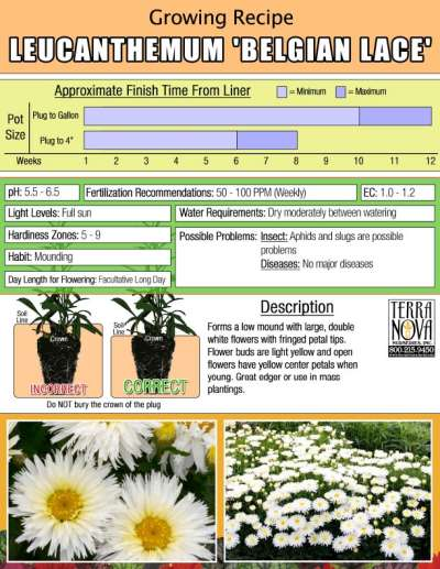 Leucanthemum 'Belgian Lace' - Growing Recipe