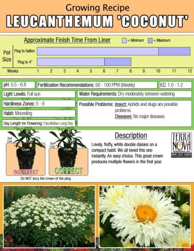 Leucanthemum 'Coconut' - Growing Recipe