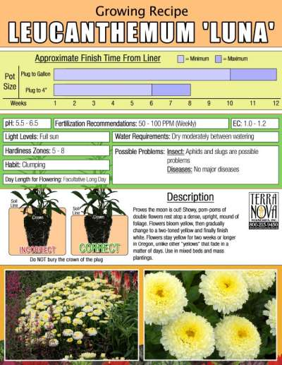 Leucanthemum 'Luna' - Growing Recipe
