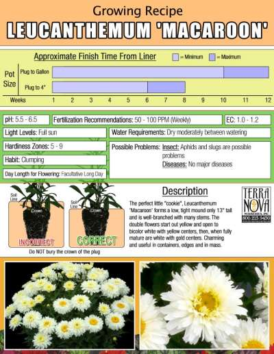 Leucanthemum 'Macaroon' - Growing Recipe