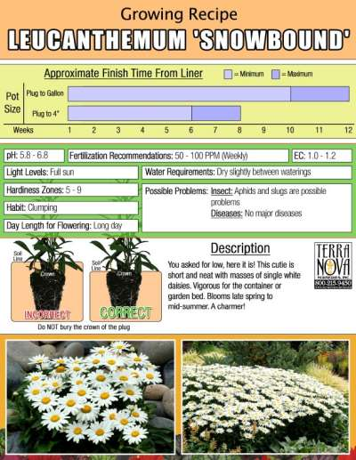 Leucanthemum 'Snowbound' - Growing Recipe