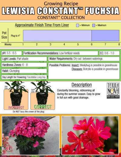 Lewisia CONSTANT™ Fuchsia - Growing Recipe